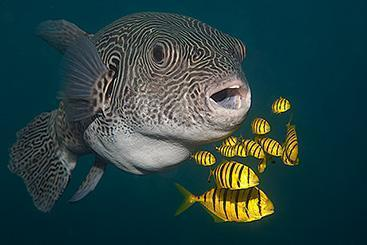 Package Giant Pufferfish With Gold Trevallies Jetty Padang Bai Bali 367x245