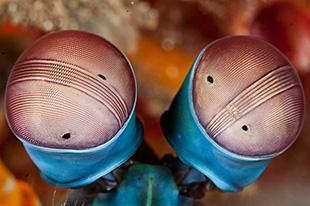 Strips Mantis Shrimp Eyes Jetty Padang Bai Bali 310x207