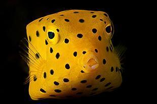 Strips Yellow Boxfish Jetty Padang Bai Bali 310x207